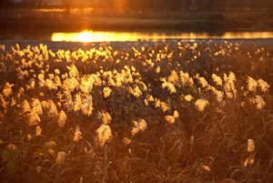 051216_silver_grass.jpg