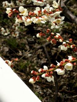 060323_ume_blossoms.jpg
