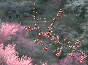 060325_ume_blossoms.JPG