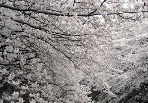 060330_cherry_blossoms.JPG