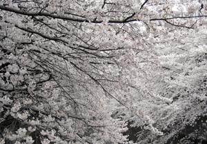 060330_cherry_blossoms.JPG