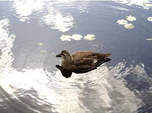 061009_duck.jpg