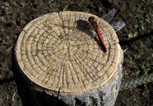 061018_red_dragonfly.JPG