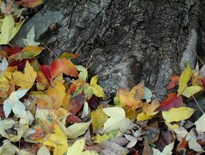 061206_fallen_leaves_a.jpg