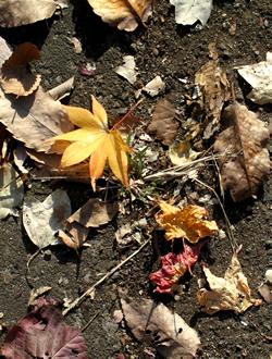 061206_fallen_leaves_c.jpg