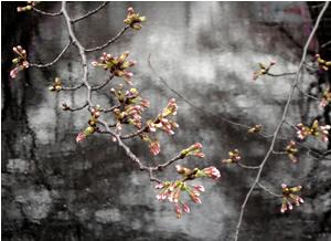 070327_cherry_blossoms.jpg