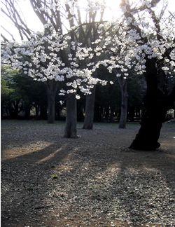 070330_cherry_blossoms.jpg