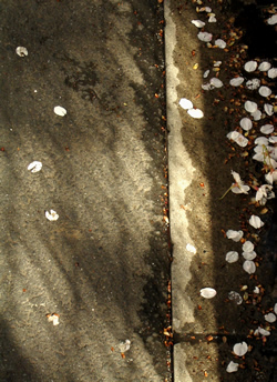 070331_fallen_petals.jpg