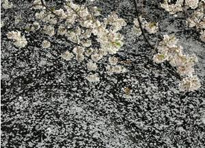 070402_cherry_blossoms.jpg