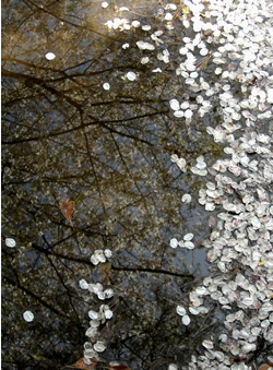 070418_fallen_petals.jpg