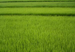 070706_ears_of_rice.jpg