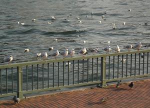 070722_seagulls_&_pigeons.JPG