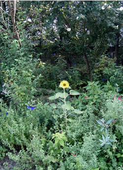 070805_sunflower.jpg