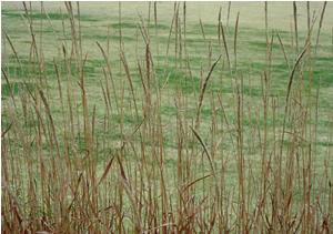 071110_silvergrass.jpg