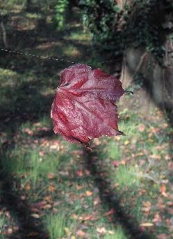 071124_red_leaf.JPG