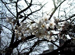 080323_sakura.jpg