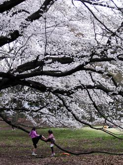 080327_sakura_tree.jpg