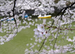 080330_sakura_boats.jpg
