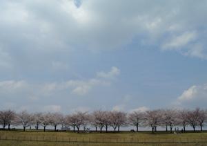 080330_sakura_trees.jpg