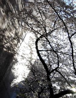 080401_sakura.jpg