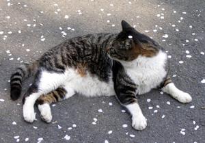 080404_sakura_cat.jpg