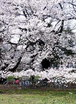 080405_sakura_bicycles.jpg