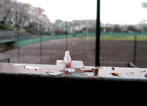 080407_sakura.jpg