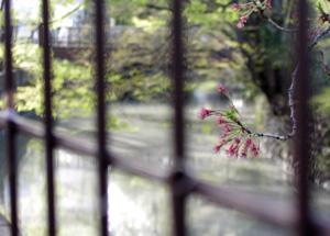 080411_sakura_river.jpg