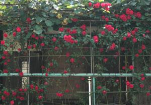 080528_rose_wall.jpg