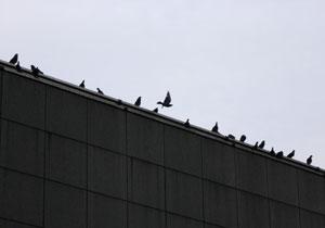 080709_pigeons.jpg