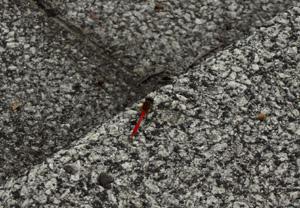 080922_red_dragonfly.jpg