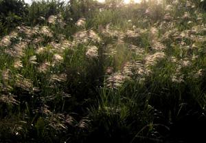 081005_pampas_grass_a.jpg