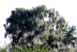 081005_pampas_grass_b.jpg