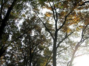 081120_zelkova_trees.jpg