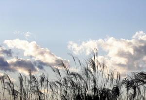 081225_silvergrass.jpg