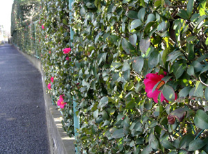 090217_camellia.jpg