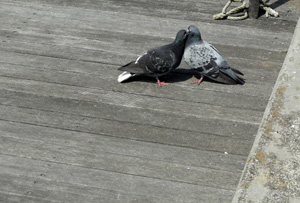 090324_pigeons.jpg