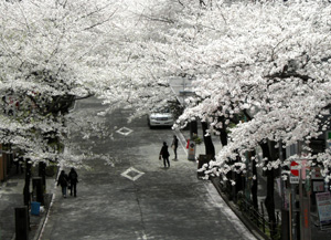 090402_sakura_road.jpg