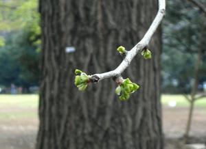 090403_maidenhair_tree.jpg
