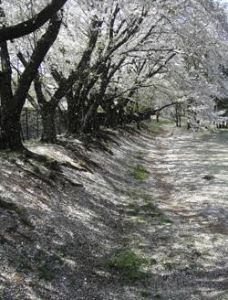 090410_sakura_snow.jpg