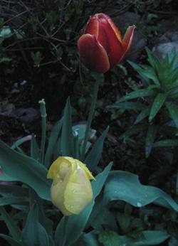 090417_tulips.jpg