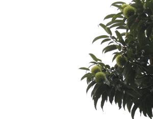 090808_chestnuts.jpg