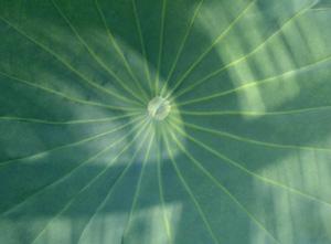 090817_huge_leaf.jpg