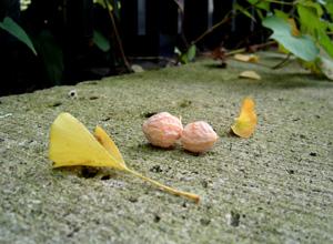 090917_ginkgo_nuts.jpg