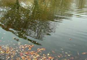 091202_floating_leaves_c.jpg