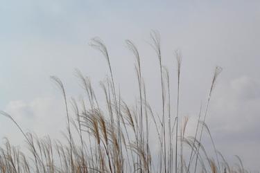 100126_pampas_grass.jpg