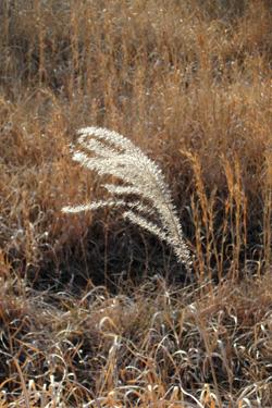 100130_pampas_grass.jpg