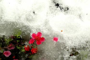 100310_frosen_flower.jpg