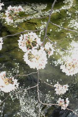 100327_shining_sakura.jpg