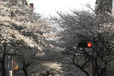 100403_sakura.jpg